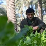 زراعة الخضار في بساتين الكوفة