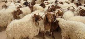 """اتحاد الأطباء العرب يطلق مشروع """"أضاحي 2014″ لتوزيع اللحوم على الفقراء"""