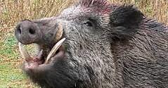 رسالة يسوع حول لحم الخنزير