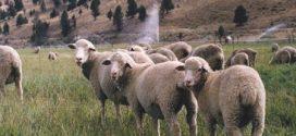 عيد الأضحى في أمريكا : اطلب خروفك عبر الإنترنت واحتفل